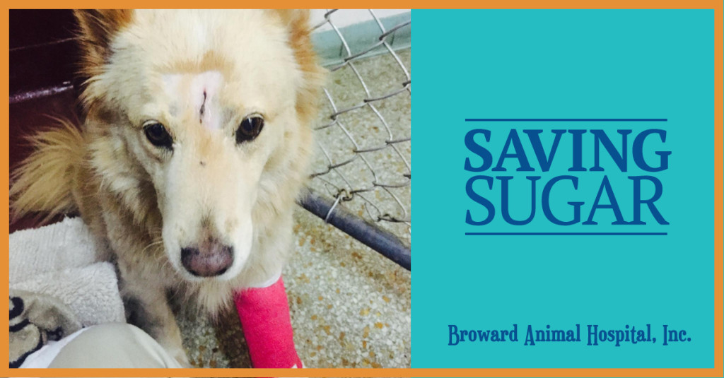 Sugar the Dog Who Survived a Plane Crash in Hollywood, FL
