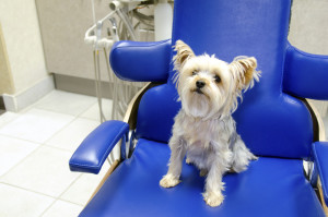 A little Yorkshire Terrier is sitting in a bright blue dentist's chair